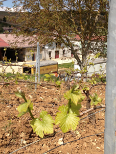 Chablis- vignoble - Avril 2013