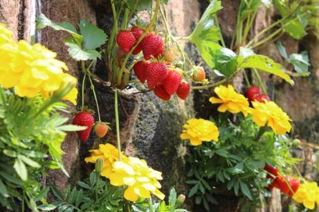 mur de fraise