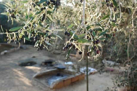 Le rameau d'olivier, symbole de la paix !