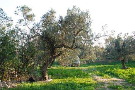 olive 4_BD - Copie