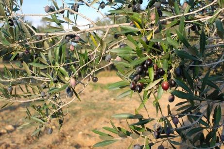 Les olives sont récoltées à pleines maturité.